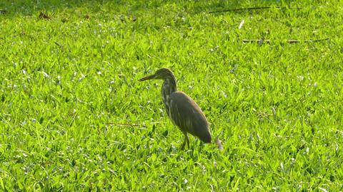 Indian Pond Heron (Ardeola grayii) on meadow Footage