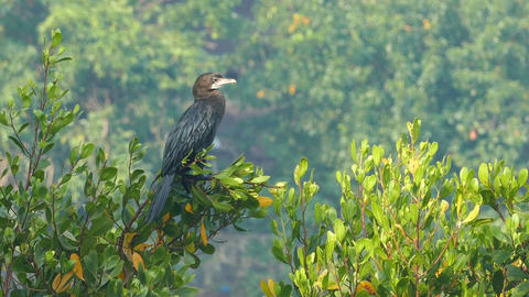 Great Cormorant On Tree Spreading Its Wings stock footage