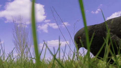 Pigeon close-up 01 Live Action