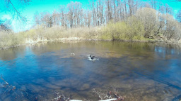 Dog retrieving a Stick out of the Water Footage