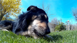 Dog Chewing A Bone In The Grass stock footage