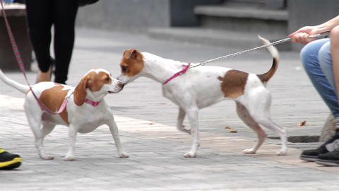 Mexico City, Mexico- July 2014: Terrier Dog Interacting And Sniffing Another Dog stock footage