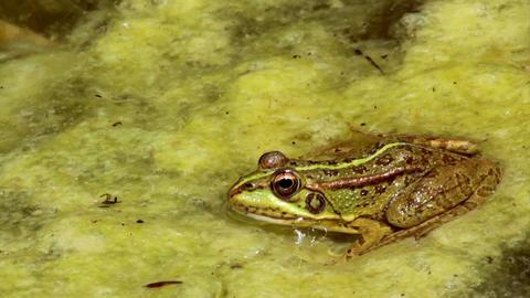 Pond Frog Jump F Footage