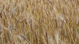 Ripe wheat Live Action