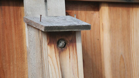 bird chirps at nest box opening Footage