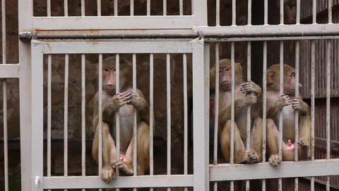 Monkeys in Scientific Apery 2 Live Action