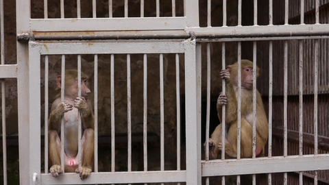 Monkeys in Scientific Apery 3 Live Action