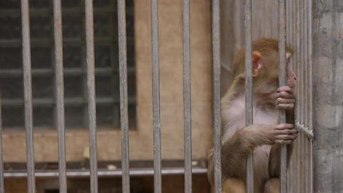Monkeys in Scientific Apery 5 Live Action