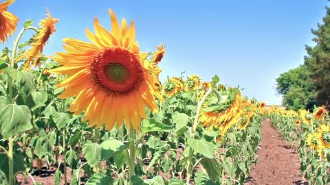 Beautiful sunflower head in field in summer time Footage