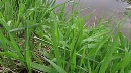 Grass On River Looking stock footage