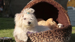 Maltese Dog Posing stock footage