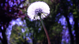 Close up shot of a Dandelion flower head Footage
