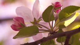 Apple Blossom In April Sun, Bottom View stock footage
