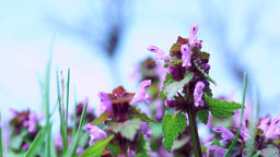 Red Dead Nettle (Lamium Purpureum) With An Ant stock footage
