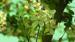 Blossoming Apple Tree, Bee in Blur Footage