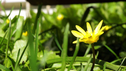 Lesser Celandine, Ranunculus Ficaria Footage