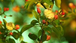 Blossoming Apple Tree Footage