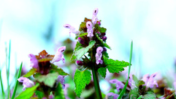 Red Dead Nettle (Lamium Purpureum) with an ant Footage