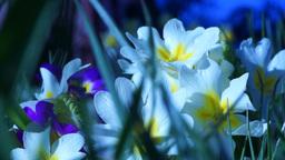 Primrose (Primula Acaulis) Footage