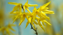 Forsythia Flowering in March Footage