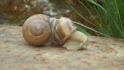 Snails in Love.Matting Game Snails Footage
