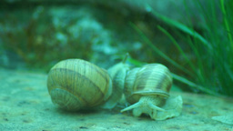 Snails in Love.Mating game snails Footage