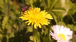 Fly Feeding on Pollen2 Footage