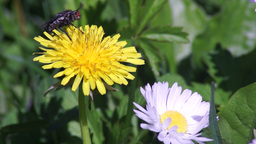 Fly On Dandelion, Strongly Washing Footage