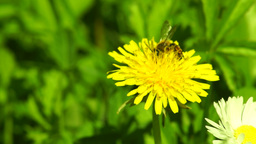 Bites and Bee on the Same Dandelion Footage