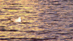 Swimming white seagull in sunset, real time Footage