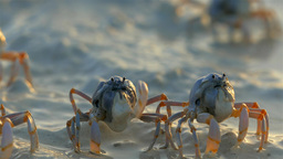 Crabs On The Beach in Sunrise Light, Bohol, Philippines Filmmaterial