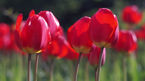 Red Tulips in the Spring Garden Footage