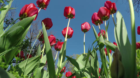 Red Tulips In The Spring Garden stock footage
