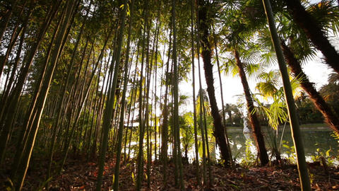 Thickets of Palm Trees and Bamboo in the Sun Footage