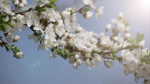 Branches Of The Blossoming Cherry In A Spring Garden stock footage