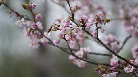 Branches of the pink Japanese Oriental cherry sakura Footage