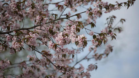 Branches of the blossoming Japanese Oriental cherry sakura Footage