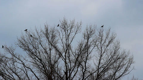 Black birds and a tree Footage