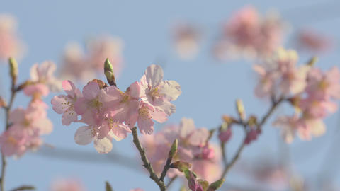 Kawazu Cherry blossoms,in Showa Kinen Park,Japan.Filmed in 4K Footage