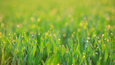 Background with Dew on the Grass at Dawn. Seamless Loop Footage