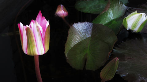 Time lapse opening of water lily flower Filmmaterial