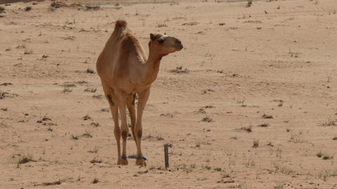 camel with bound feet jumping in the desert in oman Live Action