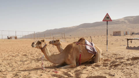 camels lying in desert Footage