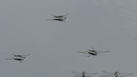 water striders (gerris lacustris) cloesup Footage