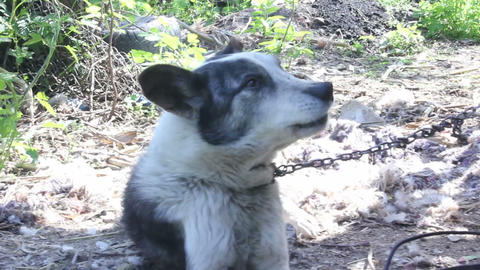 Cute wolf dog Live Action