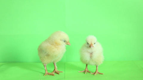 2 baby chickens 03 Footage