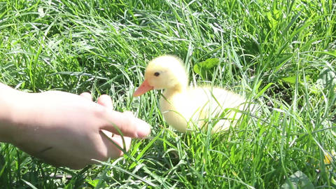 baby duck eating happy in nature Footage