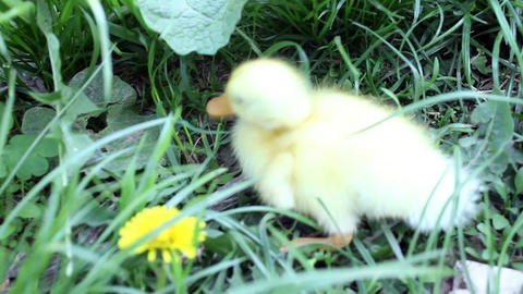 baby duck eating in nature Footage
