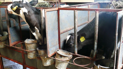 Black and white calves in a farm cowshed Footage