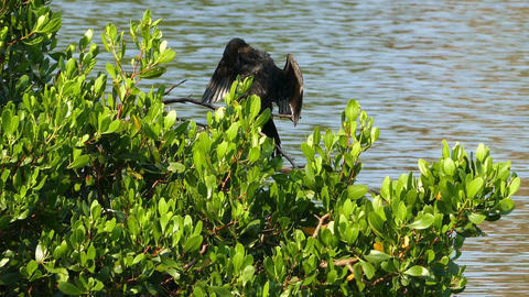 Great Cormorant on tree spreading its wings Live Action